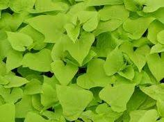 how to propagate ornamental sweet potato vine garden
