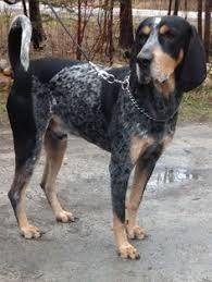bluetick coonhound westminster bluetick coonhound dog for adoption in aurora co adn 432359 on
