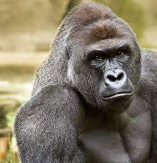 Gorilla Memes - cincinnati zoo not amused by harambe memes people com