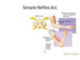 Relex Arc Exercise 16 Human Reflex Physiology Ppt Video Online Download