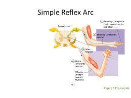 Motor Reflex Arc Exercise 16 Human Reflex Physiology Ppt Video Online Download