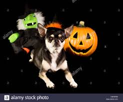 halloween background puppys cute chihuahua dressed as witch for halloween with pumpkin and