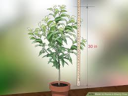 3 ways to prune a cherry tree wikihow