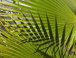 palm branches for palm sunday tag palm sunday church journal