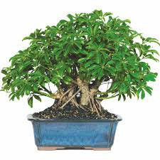 bonsai trees for sale brussel s hawaiian umbrella bonsai x large