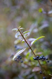 victorian native plants gardening 101 privet gardenista