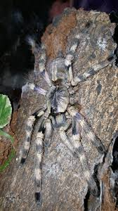 the world s best photos of ornamental and tarantula flickr hive mind
