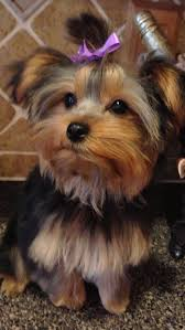 hair accessories for yorkie poos 33 best 100 yorkie hairstyles images on pinterest dog grooming