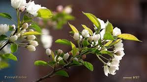 spring flower spring flowers at university of washington 2015 4k uhd youtube