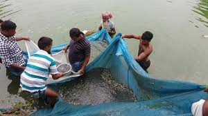 tilapia fish farming bangladesh talapia catching from pond youtube