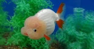 17 best goldfish images on goldfish fish tanks and