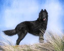belgian shepherd victoria kirsten author at pet pursuits