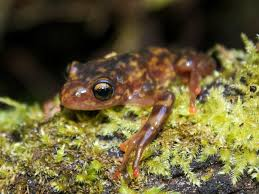deadly frog fungus pops up in madagascar an amphibian wonderland