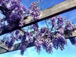 Plants For Pergola by Good And Bad Climbing Plants For Your Pergola