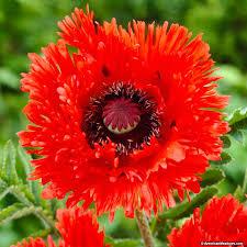 poppy turkenlouis papaver orientale american