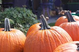 Pumpkin Picking Places In South Jersey by Where To Find Pumpkin Patches Around Austin