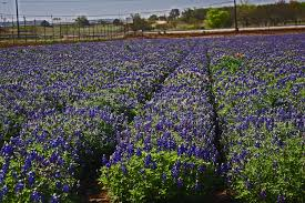 plantanswers plant answers u003e lady bird royal blue texas bluebonnet