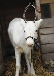 14 best reindeer change colour images on reindeer