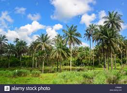 palm trees sierra leone africa stock photo royalty free image