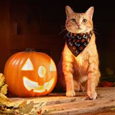 Pet Cat Halloween Costume Minute Halloween Costume Advice Pet Parents