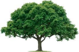 ojai trees dedicate a tree