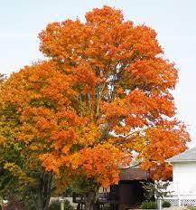 acer saccharum sugar maple tree fall colors hilltop u2026 flickr