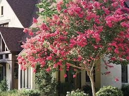 pink flower tree the complete guide to crepe myrtle trees southern living