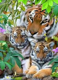 tiger and cubs cutest paw tigers