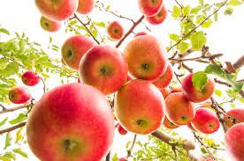 apple japan wallpaper autumn red tree apple japan orchard aomori