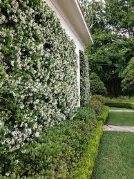 Non Invasive Climbing Plants - 5 of the best climbing plants landscape gardening supplies