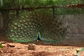 the dance and beauty of peacocks a trip to mysore u0027s kaaranji