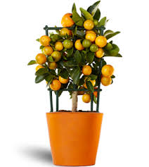 calamondin orange ornamental trees oriana citrina