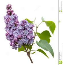 lilac flowers purple lilac flowers isolated on white stock image image of