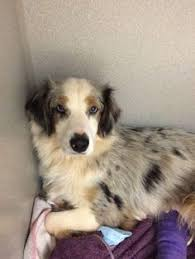 australian shepherd cattle dog mix corrales nm australian shepherd australian cattle dog mix meet