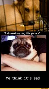 Depressed Pug Meme - i showed my dog this picture me think it s sad pug picture