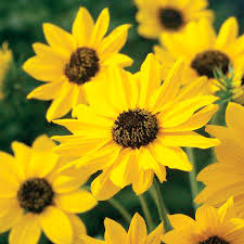 sunny sunflower seeds from park seed