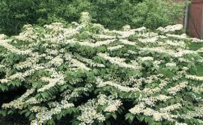 Flowering Shrubs For Partial Sun - viburnums are versatile shrubs fine gardening