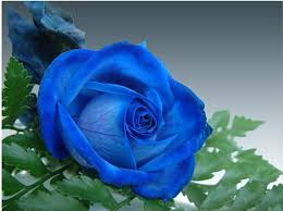 Picture Of Roses Flowers - all kinds of rose flower seeds buy rose flower holland roses
