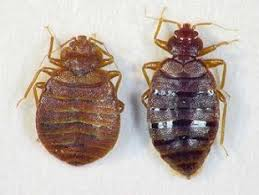What Does Bed Bugs Look Like What Does A Bed Bug Look Like And Where Do I Find Them Yes Pest