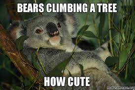 Angry Koala Meme - angry koala bear meme keywords and pictures