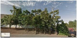 tree of heaven eradication now