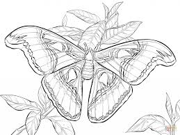 realistic atlas moth coloring book animal photos of moth