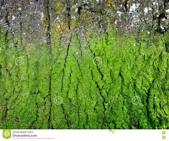 texture of tree bark covered with green mold stock photo image