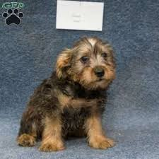 australian shepherd schnauzer mix miniature schnauzer mix puppies for sale in de md ny nj philly dc