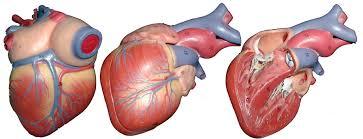 Heart External Anatomy Ap 2 Classroom Models
