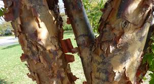 trees with ornamental bark for winter interest state by state