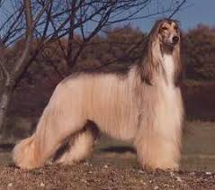 afghan hound puppies youtube afghan hound justadogg