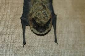 small bat adw myotis leibii information