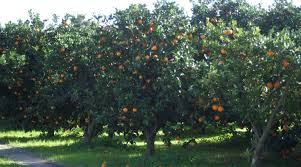 which is the difference between neroli and orange blossoms page