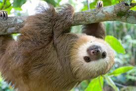 4 toed sloth 11 hd two toed sloth infowpb
